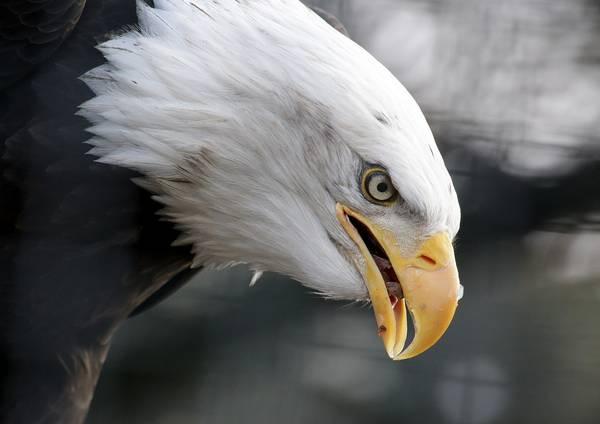 Глаз и клюв белоголового орлана фото (Haliaeetus_leucocephalus)