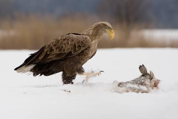 Добыча орлана-белохвоста фото (Haliaeetus albicilla)
