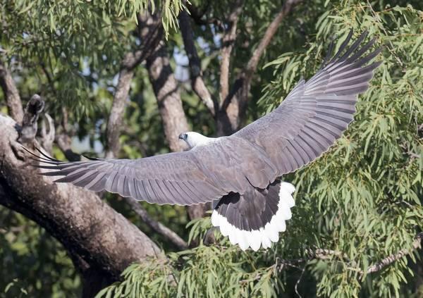 Крылья белобрюхого орлана фото (Haliaeetus leucogaster)