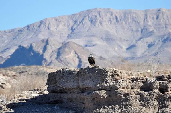 Места обитания орланов фото (Haliaéetus leucocéphalus)