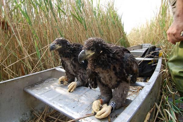 Молодые орланы-белохвосты фото (Haliaeetus albicilla)