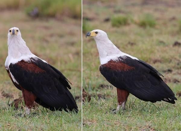 Орлан-крикун в фас и профиль фото (Haliaeetus vocifer)