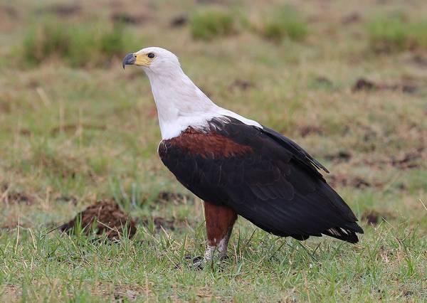 Орлан-крикун фото (Haliaeetus vocifer)