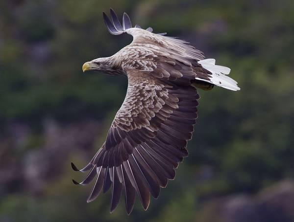 Перья орлана-белохвоста фото (Haliaeetus albicilla)
