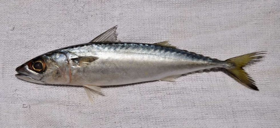 Скумбрия японская фото (Scomber japonicus)
