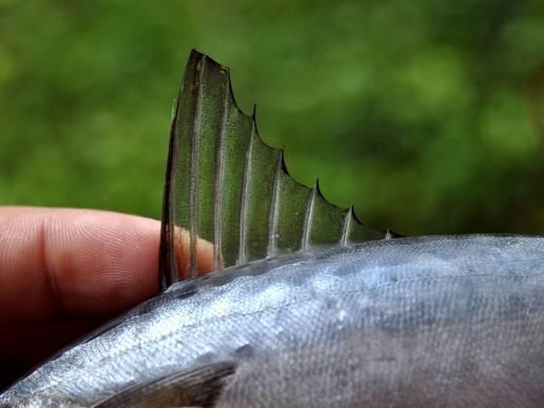 Спинной плавник японской скумбрии фото (Scomber japonicus)