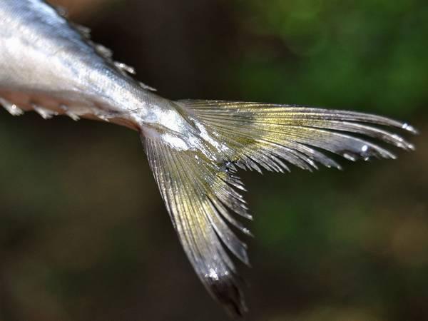 Хвост японской скумбрии фото (Scomber japonicus)