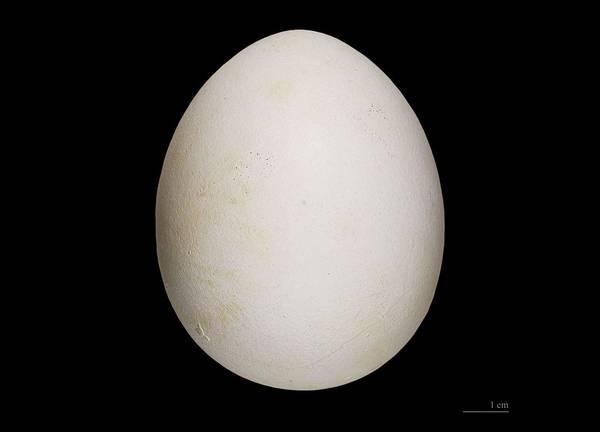 Яйцо орлана-крикуна фото (Haliaeetus vocifer)