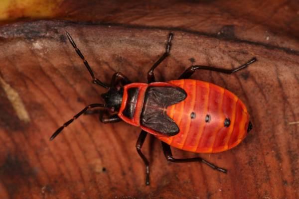 Красноклоп бескрылый на листочке фото (Pyrrhocoris apterus)