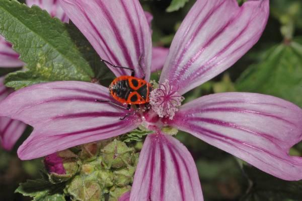 Красный клоп-солдатик на цветке фото (Pyrrhocoris apterus)