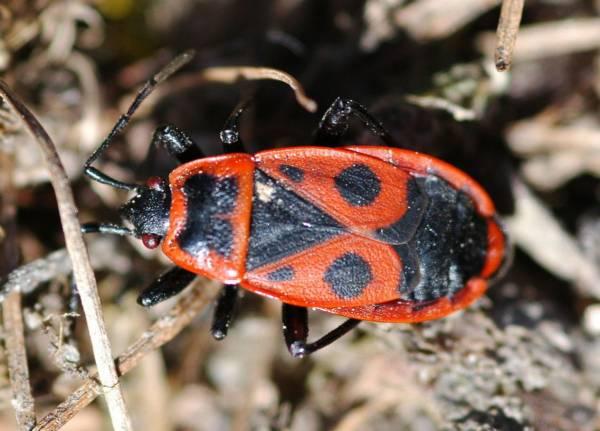 Крылья красного клопа солдатика фото (лат. Pyrrhocoris apterus)