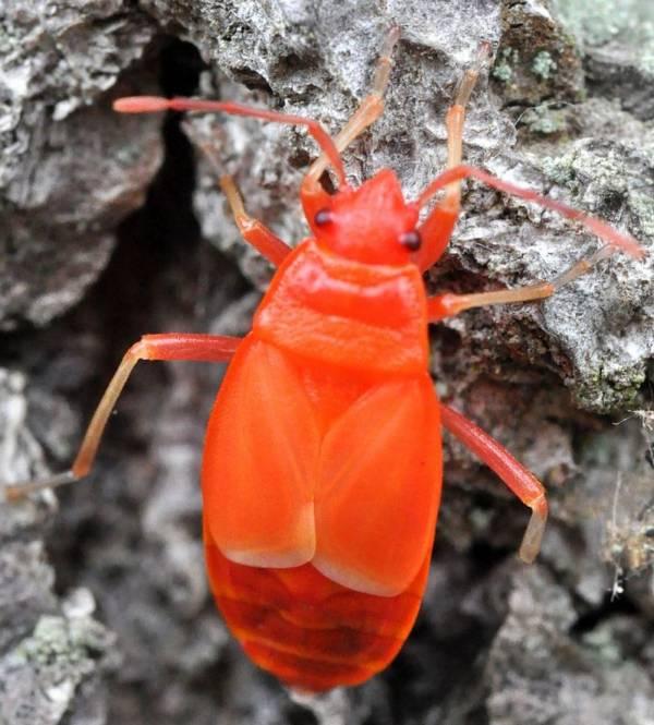 Личинка клопа-солдатика фото (Pyrrhocoris apterus)